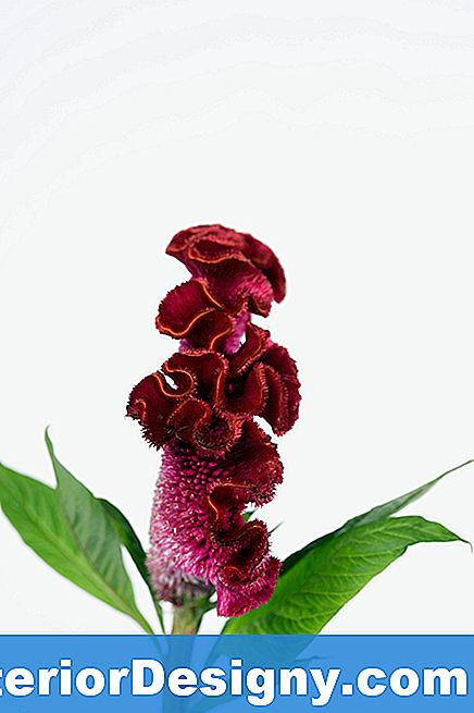 Celosia Plant Care Information