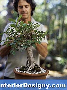 Ficus Oder Feige Bonsai Tree Information