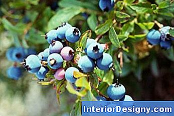 Wie Man Blueberry Hedges Anbaut