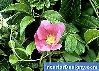 Rose Rugosa Tolleranti All'Ombra